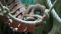 Big monkey in hammock Stock Footage