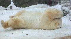 White bear Stock Footage