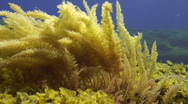 Stock Video Footage of Red seaweed water moved
