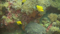 Yellow long nose butterflyfish, Forcipiger flavissimus in the Philippines Stock Footage