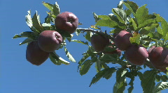 Ripe red delicious apples on branch Stock Footage