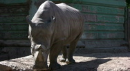 Stock Video Footage of White rhinoceros, 3 shots