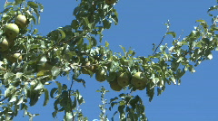 Pan shot of pears on a tree 2 Stock Footage