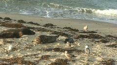 Harbor Seals on Pacific Ocean Beach in San Diego Stock Footage
