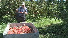 Picking RG apples wide shot Stock Footage