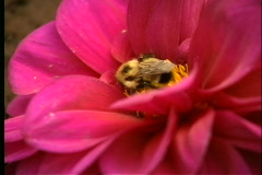 Close up Bee on Flower Stock Footage