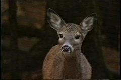 Deer in the wild Stock Footage