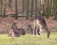 Roe deer in the woods Stock Footage