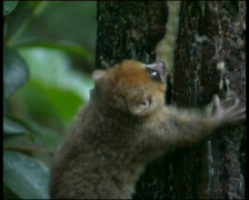 Mouse Lemur  Madagascar Stock Footage