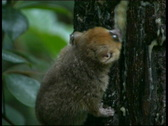 Stock Video Footage of Mouse Lemur  Madagascar