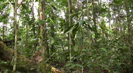 Rainforest tree with butress roots in the Ecuadorian Amazon Stock Footage