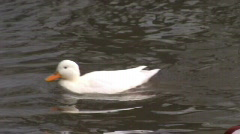 white duck  - stock footage