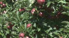 Red delicious zoom back  reveal Stock Footage