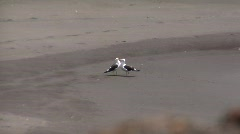 Chile Seaguls kissing on Beach Stock Footage