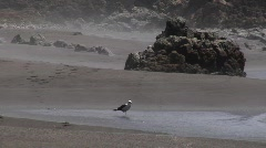 Chile Seagul on Beach Stock Footage