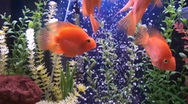 Stock Video Footage of tropical fish,aquarium