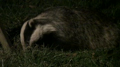 Badger cu Stock Footage
