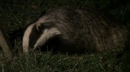 Stock Video Footage of Badger cu