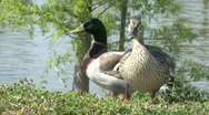 Male & Female Ducks Stock Footage