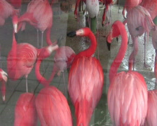 The Greater Flamingo Stock Footage
