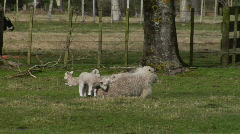 Lambs Wanting To Feed 2 Stock Footage