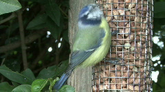 Blue Tit on nut feeder - closeup 1 Stock Footage