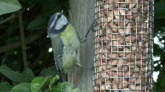 Blue Tit on nut feeder - closeup 5 alert to danger Stock Footage