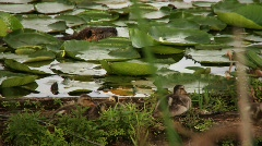 Ducklings and Coypu aka Nutria Stock Footage