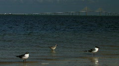 Ocean birds play in shore water at dusk in front of skyway Stock Footage