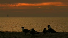 Ocean birds take to flight against a gulf sunset Stock Footage