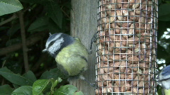 Blue Tit on nut feeder - closeup 3 Stock Footage