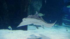 Shark Ray Swimming Stock Footage