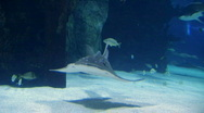 Stock Video Footage of Shark Ray Swimming