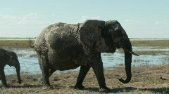 Protective Elephant - stock footage