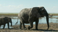 Stock Video Footage of Protective Elephant