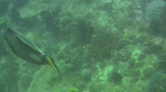 Titan triggerfish, Balistoides Viridescent on a reef in the Philippines Stock Footage