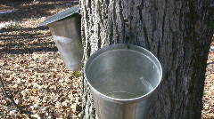 Maple Tree Sap Dripping Into A Metal Bucket - stock footage