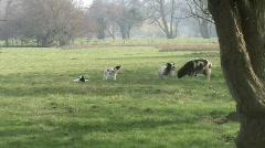Jacob sheep & lambs Stock Footage
