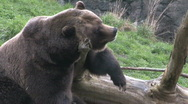 Brown Bear Resting 4 Stock Footage