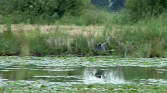 Heron in Flight - stock footage