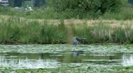 Stock Video Footage of Heron in Flight