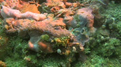 Nudibranch Phidiana indica on a coral reef in the Philippines Stock Footage