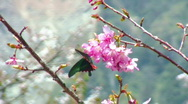 Butterfly and cherry blossoms Stock Footage