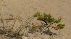 Pine tree and sand dunes on the island Faro in sweden Stock Footage