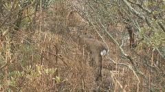 Deer1 - stock footage