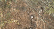 Stock Video Footage of Deer1