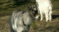 Stock Video Footage of Screaming Goats