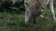 Stock Video Footage of Gray Wolf leaving scent 1