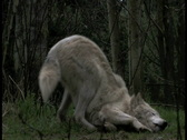 Stock Video Footage of Gray Wolf leaving scent 4aa
