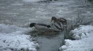 Ducks on double date. Stock Footage